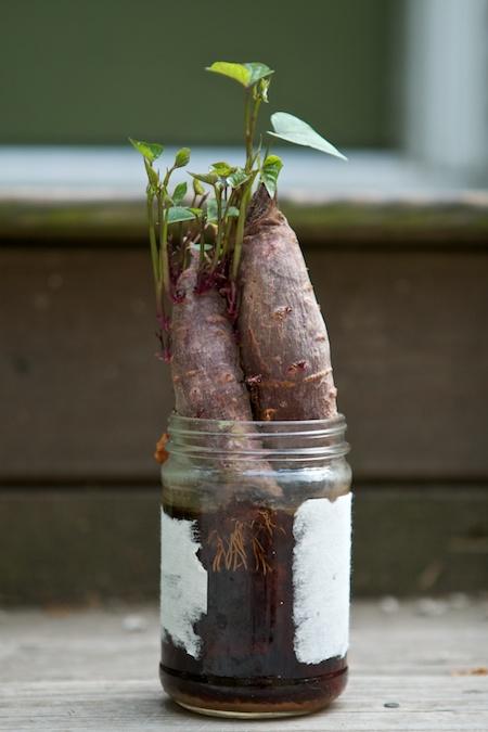 Sweet potato slips 1